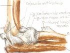 Регенерация локтевого сустава